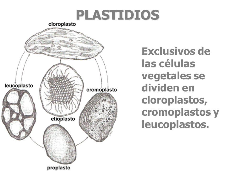 PLASTIDIOSExclusivos de las células vegetales se dividen en cloroplastos, cromoplastos y leucoplastos.