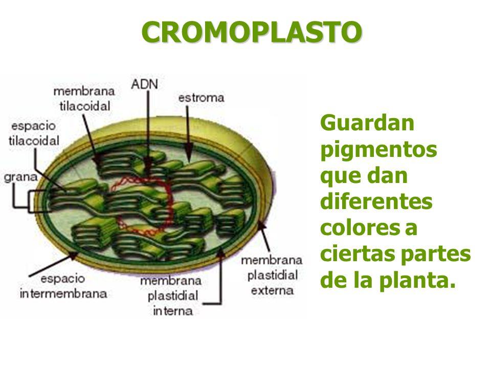 CROMOPLASTO Guardan pigmentos que dan diferentes colores a ciertas partes de la planta.