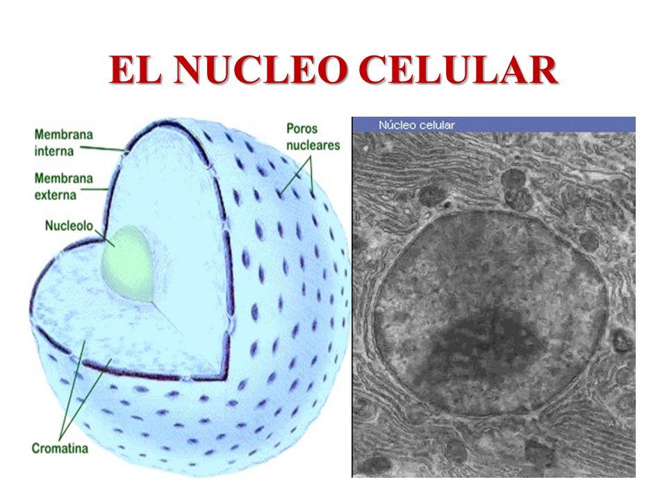 EL NUCLEO CELULAR