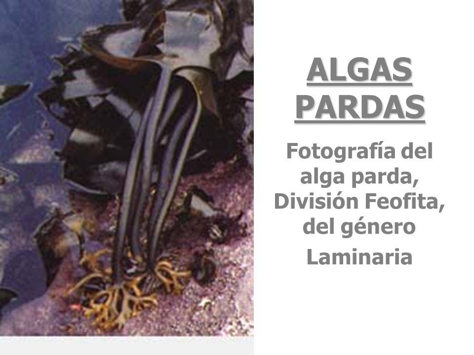 Fotografía del alga parda, División Feofita, del género Laminaria
