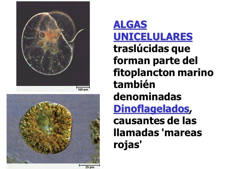 ALGAS UNICELULARES traslúcidas que forman parte del fitoplancton marino también denominadas Dinoflagelados, causantes de las llamadas mareas rojas