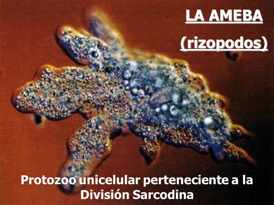 Protozoo unicelular perteneciente a la División Sarcodina