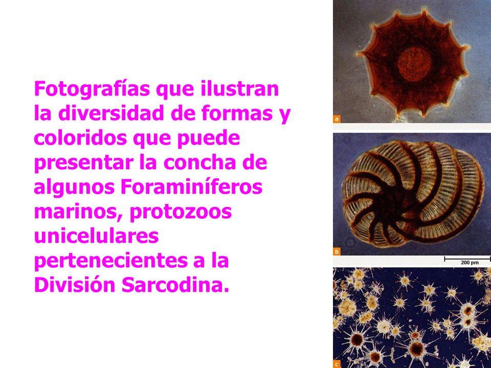 Fotografías que ilustran la diversidad de formas y coloridos que puede presentar la concha de algunos Foraminíferos marinos, protozoos unicelulares pertenecientes a la División Sarcodina.