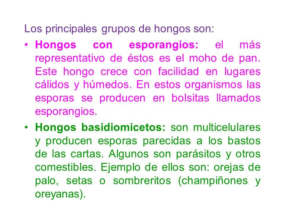 Los principales grupos de hongos son: