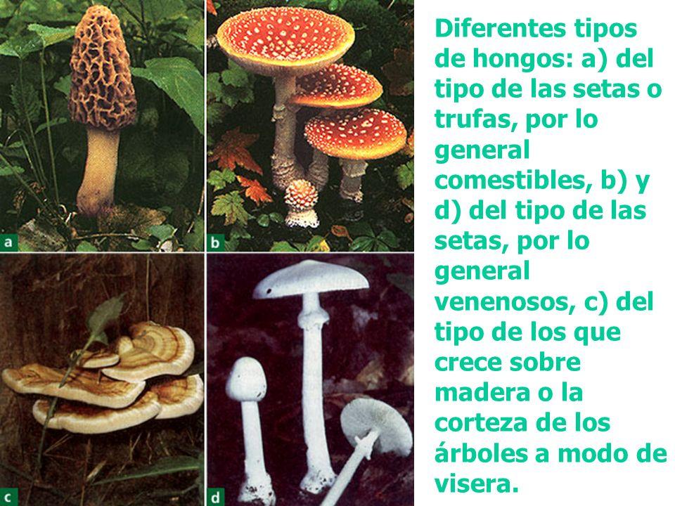 Diferentes tipos de hongos: a) del tipo de las setas o trufas, por lo general comestibles, b) y d) del tipo de las setas, por lo general venenosos, c) del tipo de los que crece sobre madera o la corteza de los árboles a modo de visera.
