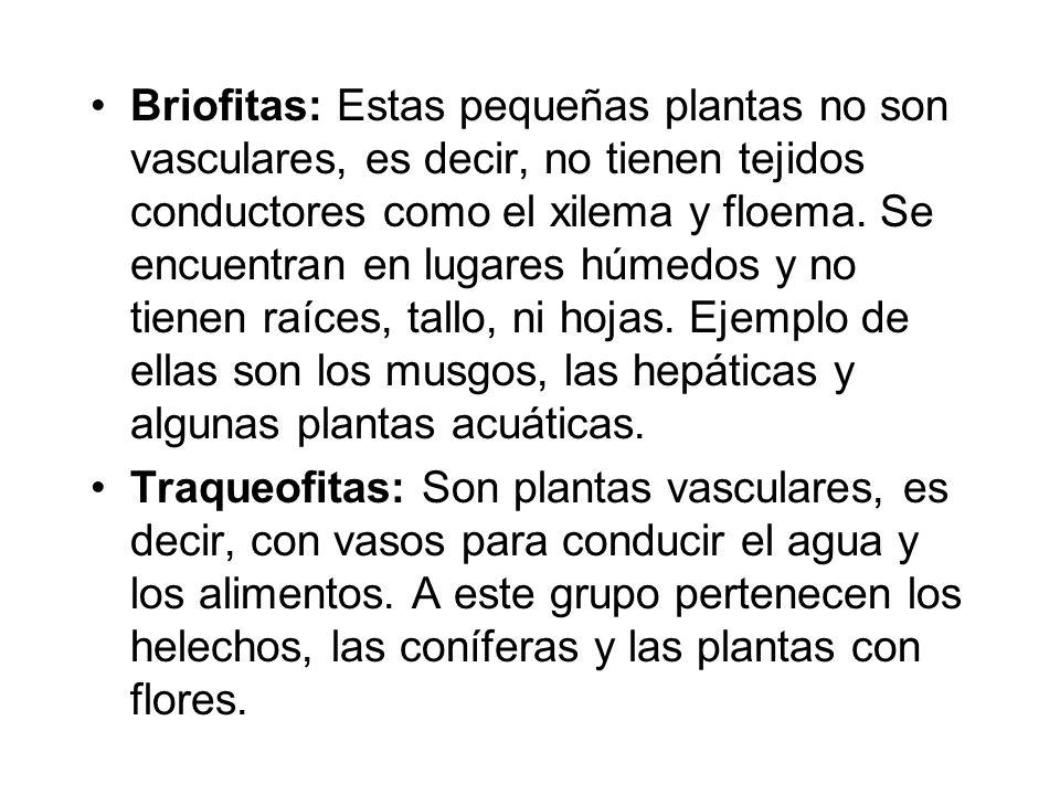 Briofitas: Estas pequeñas plantas no son vasculares, es decir, no tienen tejidos conductores como el xilema y floema. Se encuentran en lugares húmedos y no tienen raíces, tallo, ni hojas. Ejemplo de ellas son los musgos, las hepáticas y algunas plantas acuáticas.