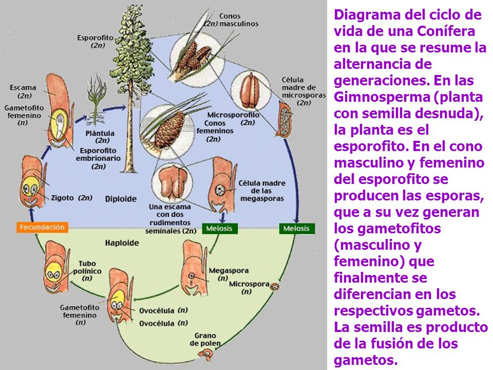 Diagrama del ciclo de vida de una Conífera en la que se resume la alternancia de generaciones.