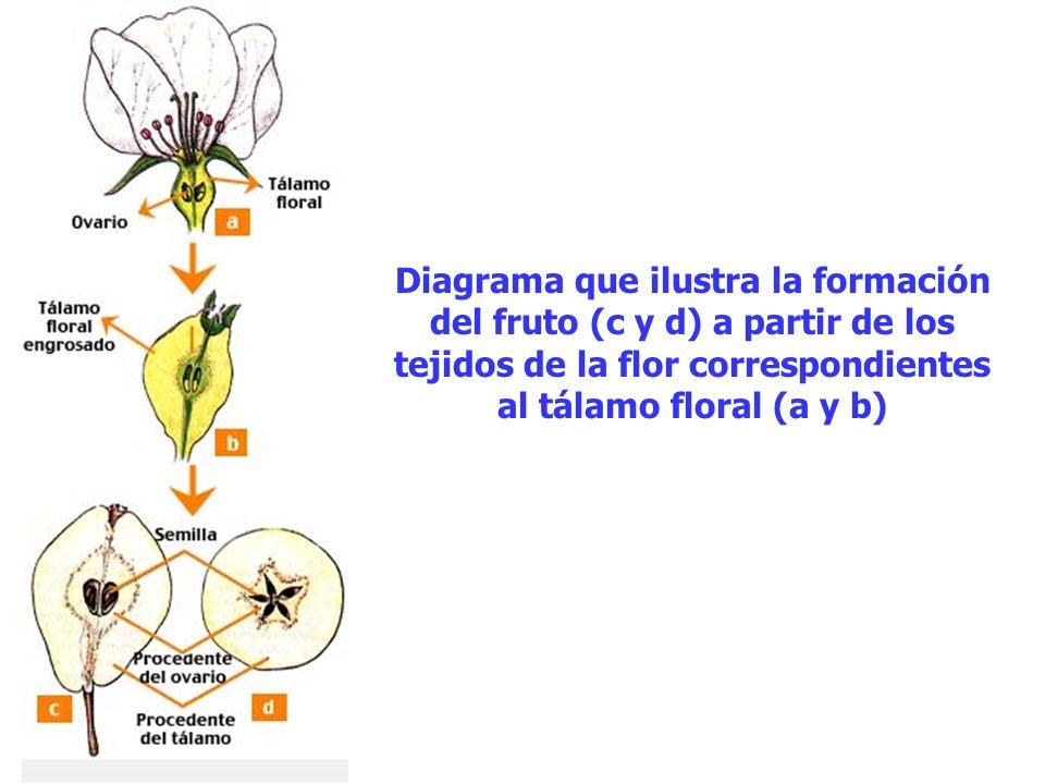 Diagrama que ilustra la formación del fruto (c y d) a partir de los tejidos de la flor correspondientes al tálamo floral (a y b)