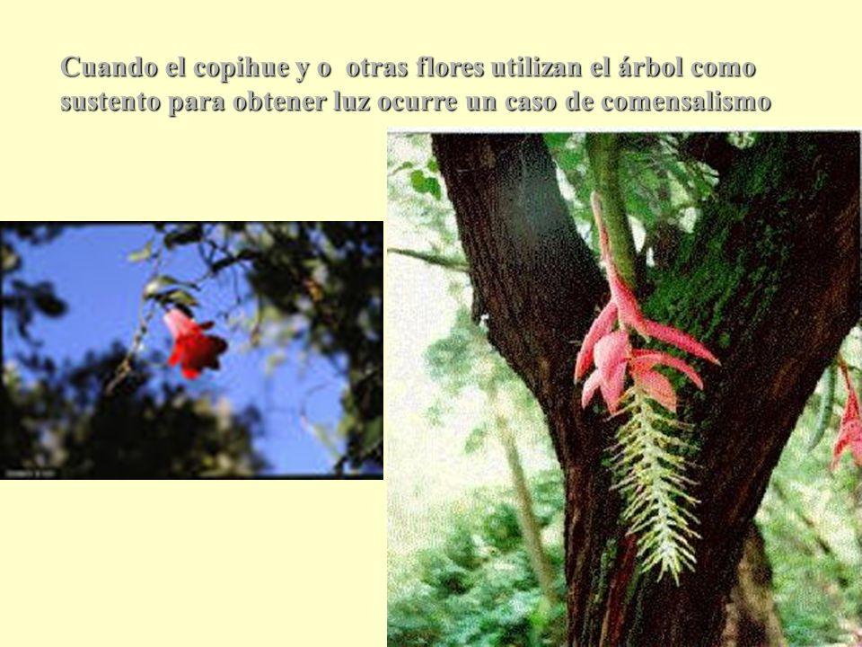 Cuando el copihue y o otras flores utilizan el árbol como sustento para obtener luz ocurre un caso de comensalismo