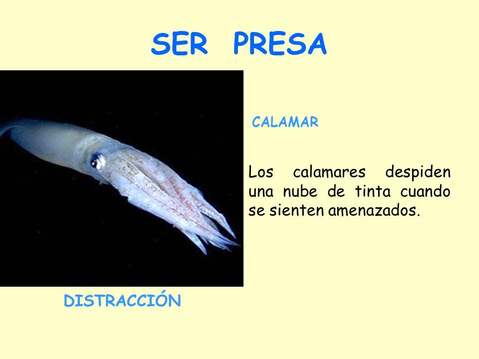 SER PRESA CALAMAR. Los calamares despiden una nube de tinta cuando se sienten amenazados.