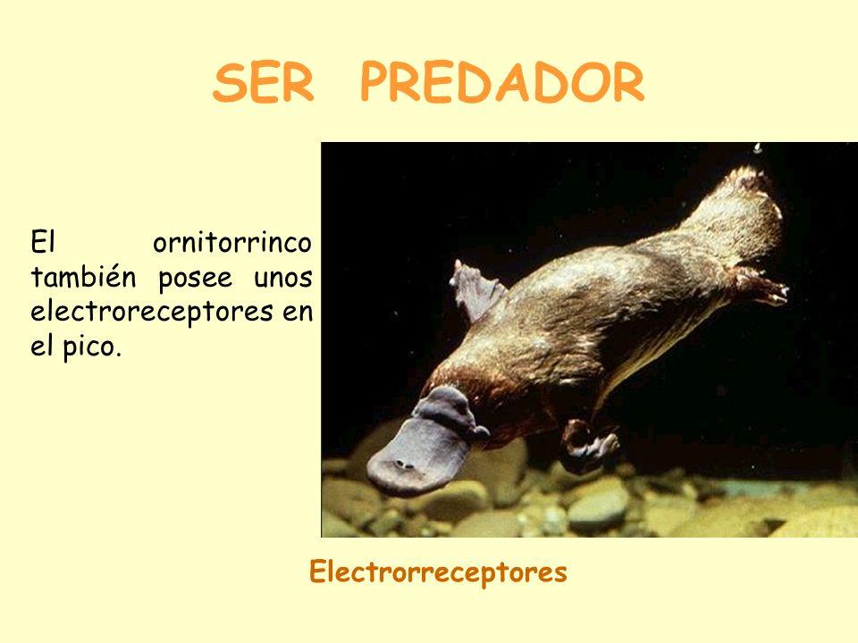 SER PREDADOR El ornitorrinco también posee unos electroreceptores en el pico. Electrorreceptores