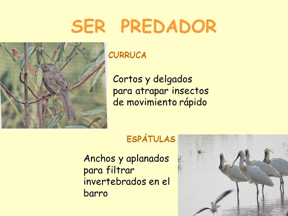 SER PREDADOR CURRUCA. Cortos y delgados para atrapar insectos de movimiento rápido. ESPÁTULAS.