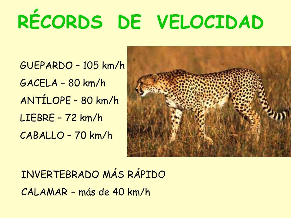 RÉCORDS DE VELOCIDAD GUEPARDO – 105 km/h GACELA – 80 km/h