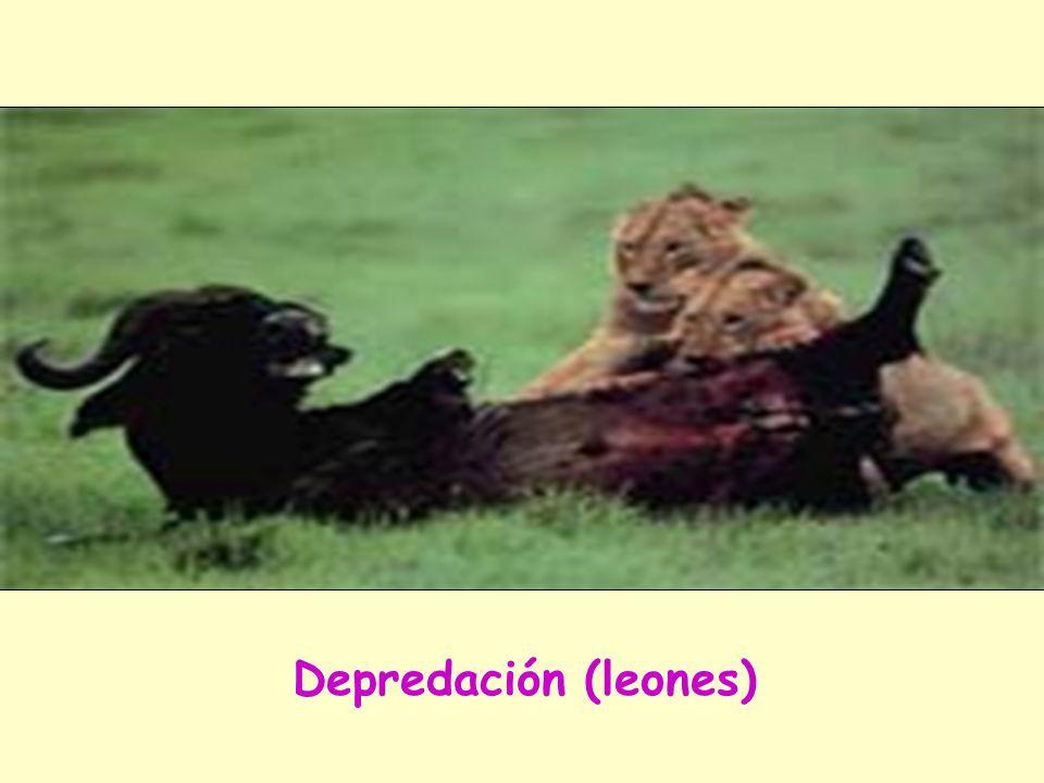 Depredación (leones)
