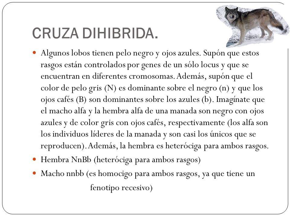 CRUZA DIHIBRIDA.