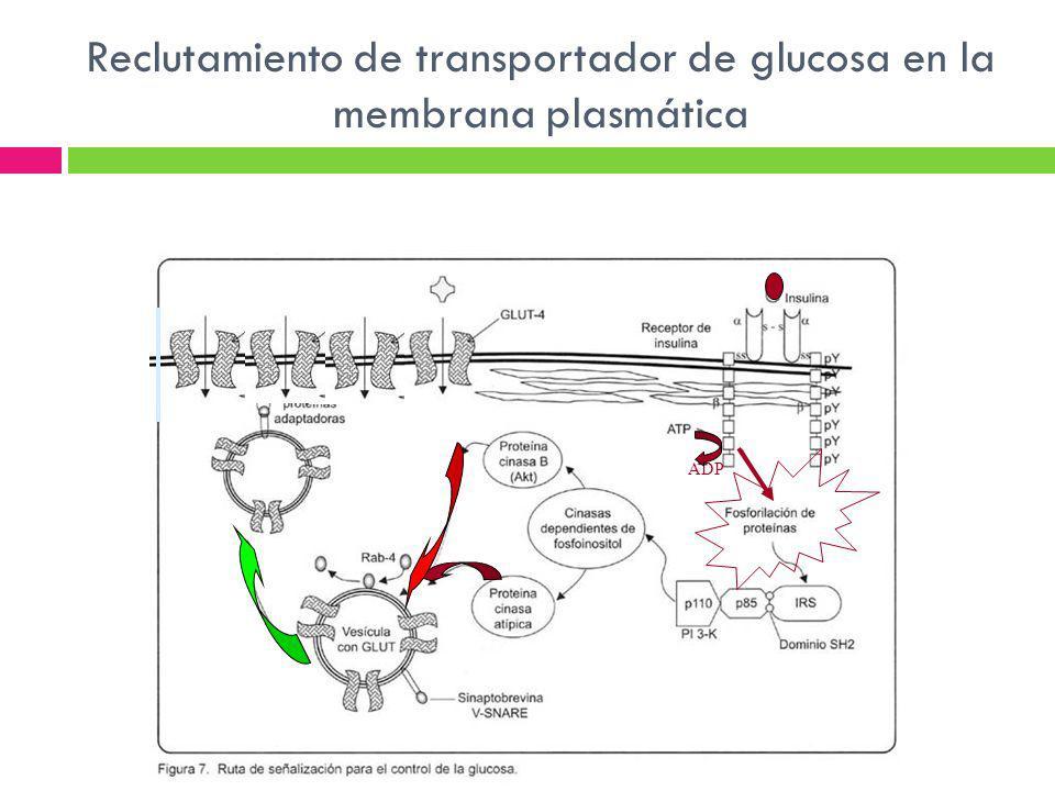 Reclutamiento de transportador de glucosa en la membrana plasmática