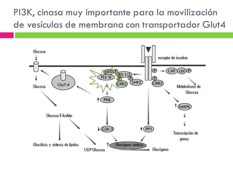 PI3K, cinasa muy importante para la movilización de vesículas de membrana con transportador Glut4