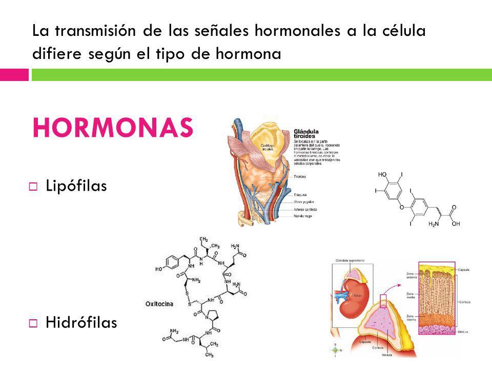 La transmisión de las señales hormonales a la célula difiere según el tipo de hormona