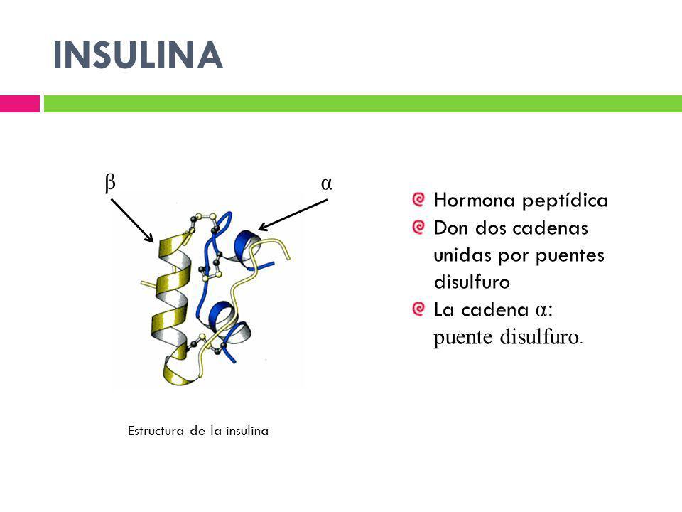 INSULINA β α Hormona peptídica