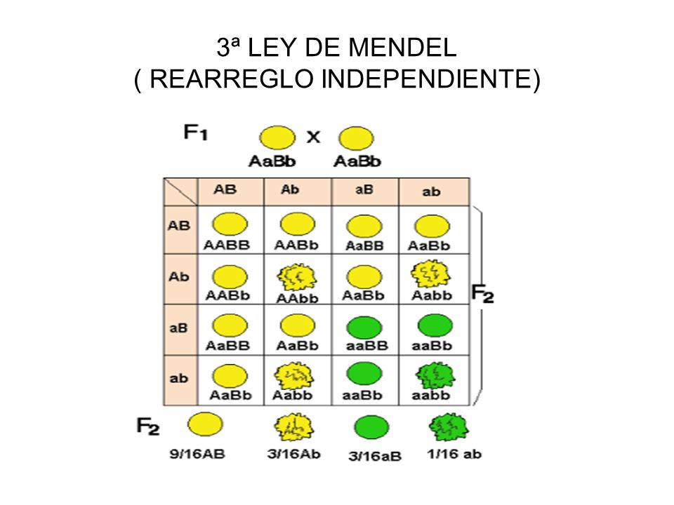 3ª LEY DE MENDEL ( REARREGLO INDEPENDIENTE)