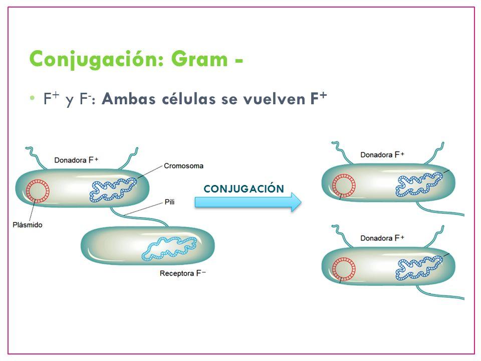 Conjugación: Gram - F+ y F-: Ambas células se vuelven F+ CONJUGACIÓN