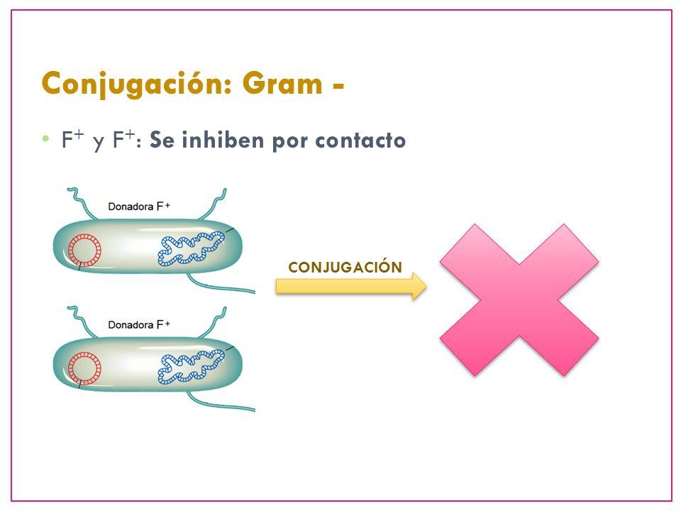 Conjugación: Gram - F+ y F+: Se inhiben por contacto CONJUGACIÓN