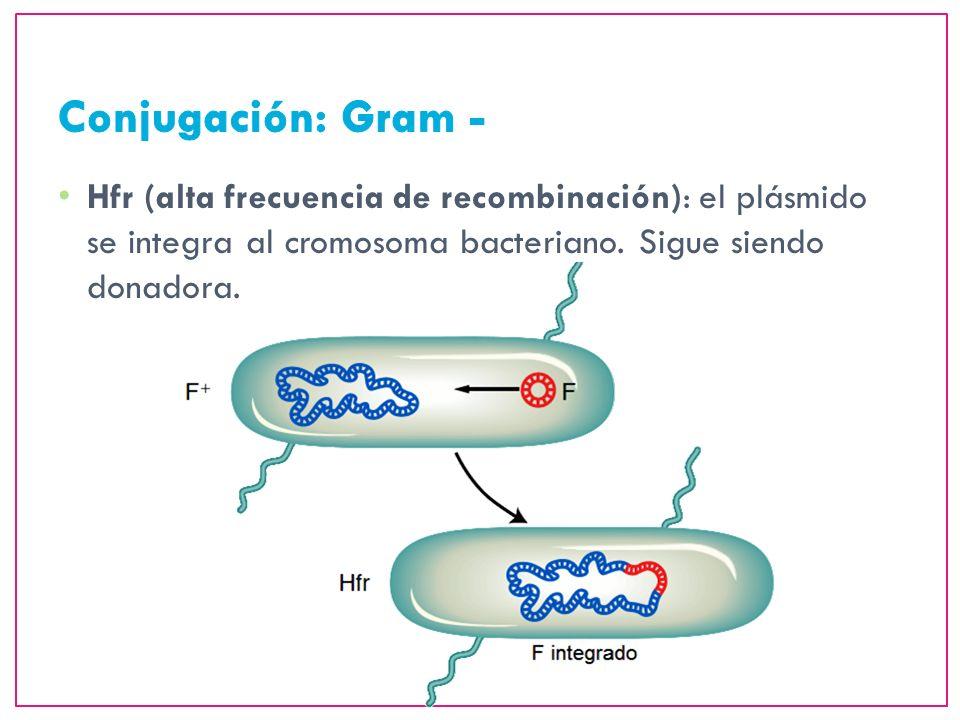 Conjugación: Gram -Hfr (alta frecuencia de recombinación): el plásmido se integra al cromosoma bacteriano.
