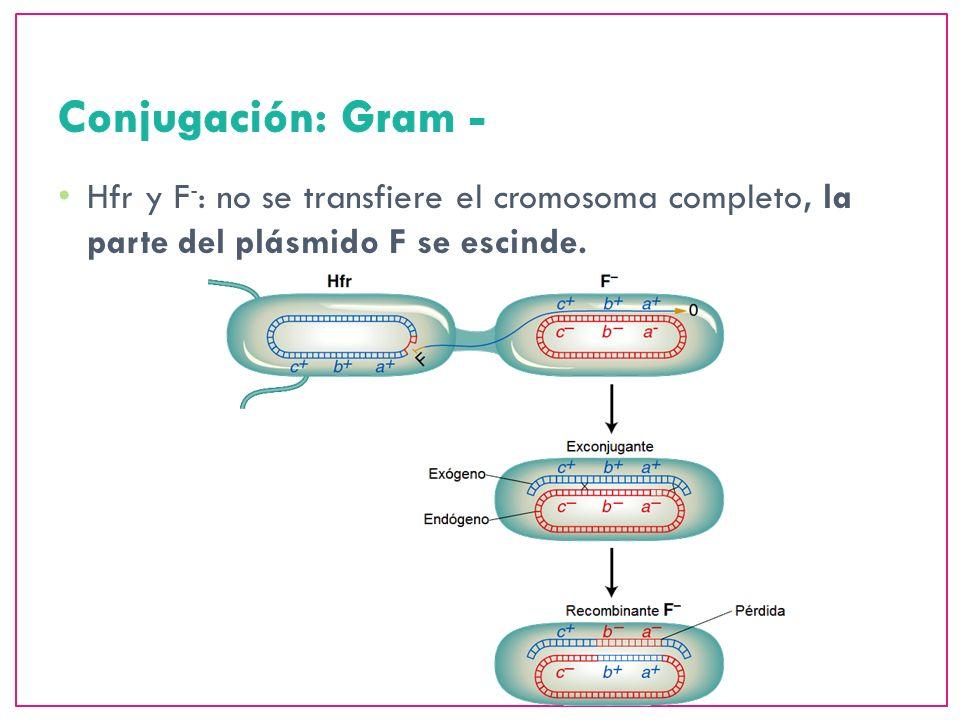 Conjugación: Gram - Hfr y F-: no se transfiere el cromosoma completo, la parte del plásmido F se escinde.