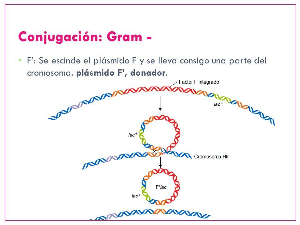 Conjugación: Gram -F': Se escinde el plásmido F y se lleva consigo una parte del cromosoma.
