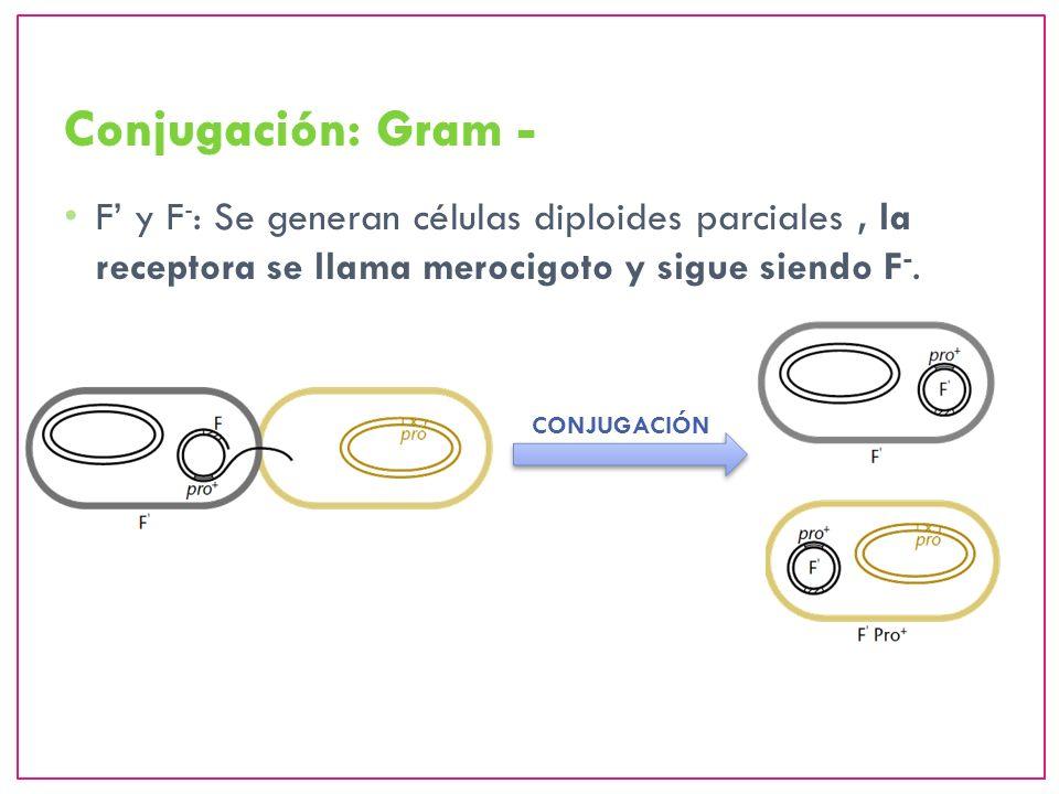 Conjugación: Gram - F' y F-: Se generan células diploides parciales , la receptora se llama merocigoto y sigue siendo F-.