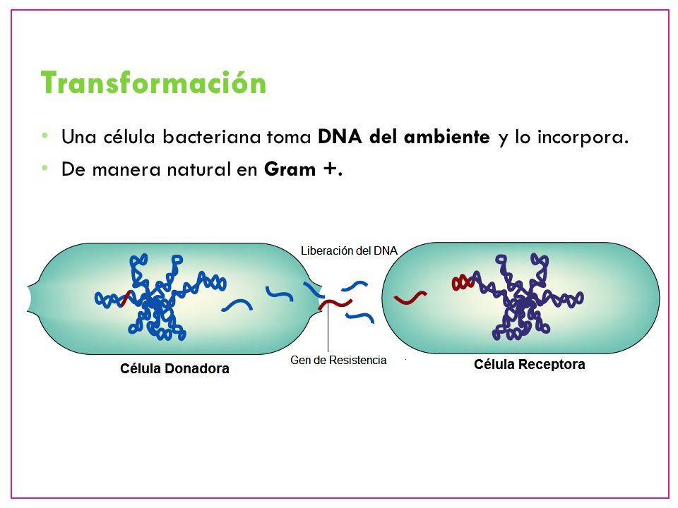 Transformación Una célula bacteriana toma DNA del ambiente y lo incorpora.