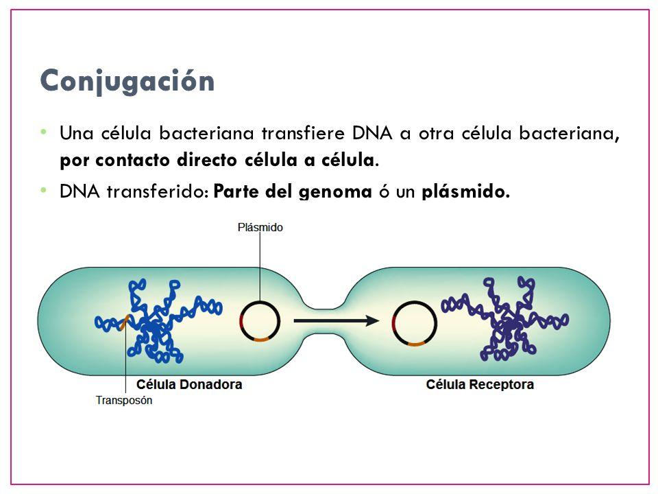 ConjugaciónUna célula bacteriana transfiere DNA a otra célula bacteriana, por contacto directo célula a célula.