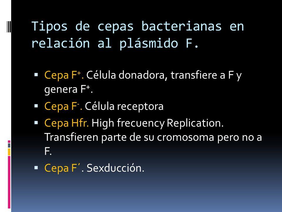 Tipos de cepas bacterianas en relación al plásmido F.