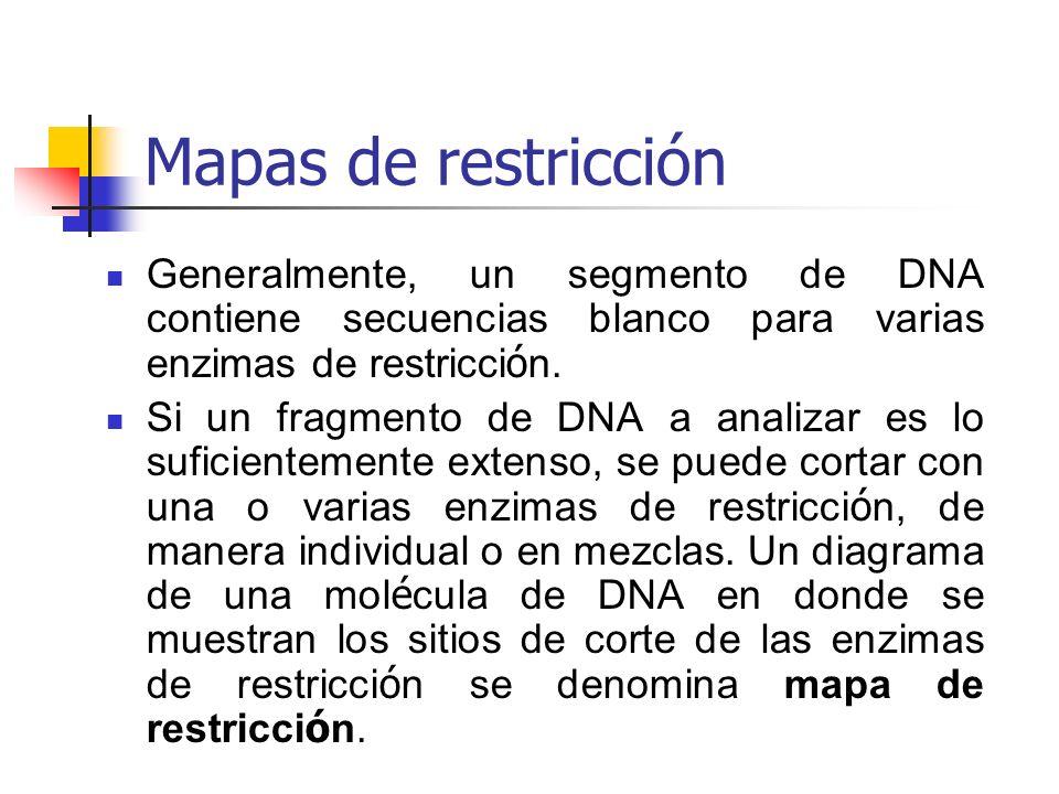 Mapas de restricción Generalmente, un segmento de DNA contiene secuencias blanco para varias enzimas de restricción.