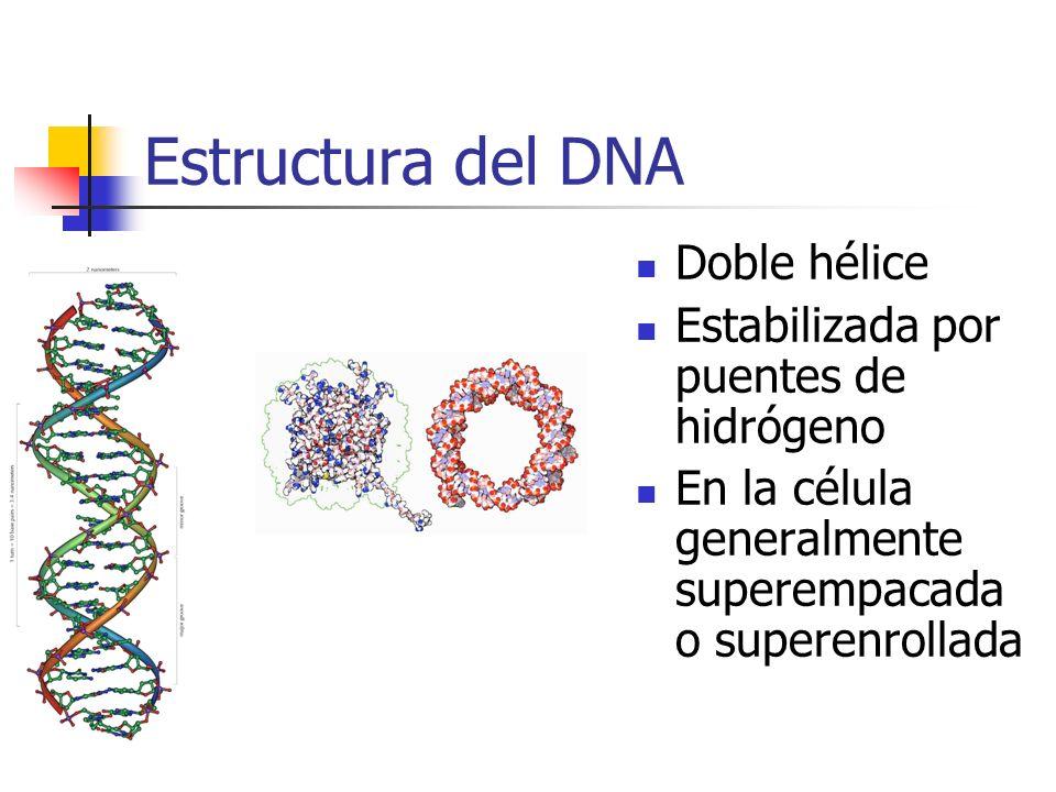 Estructura del DNA Doble hélice Estabilizada por puentes de hidrógeno