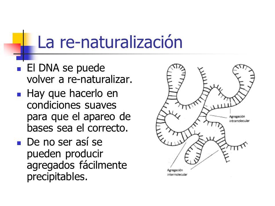 La re-naturalización El DNA se puede volver a re-naturalizar.