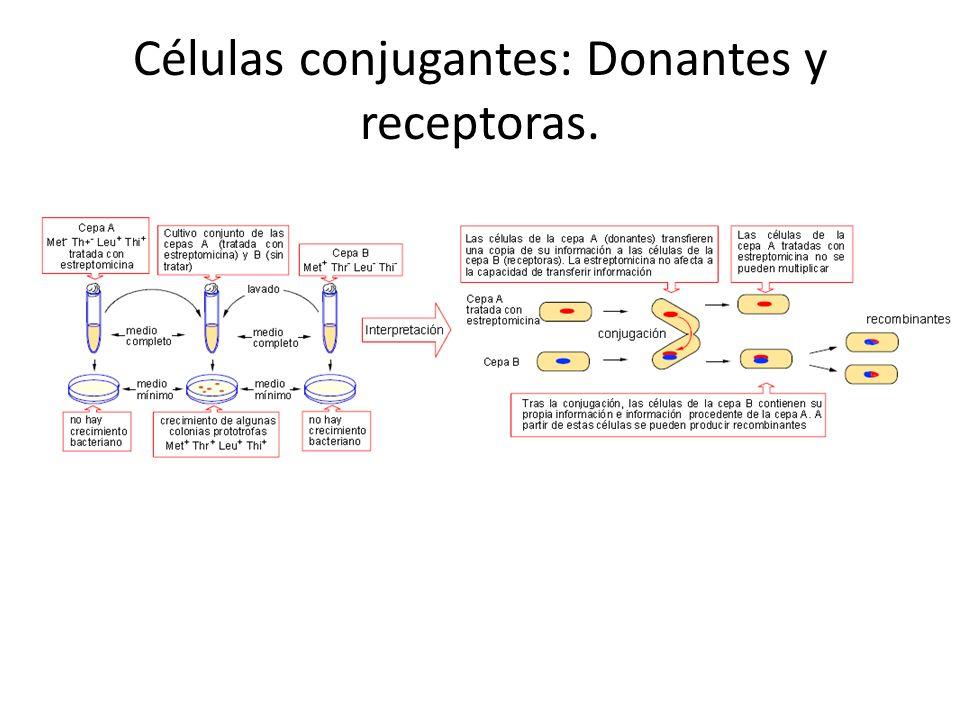 Células conjugantes: Donantes y receptoras.