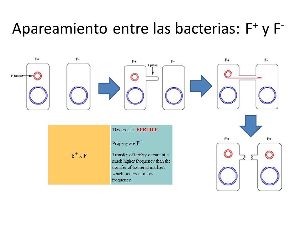 Apareamiento entre las bacterias: F+ y F-