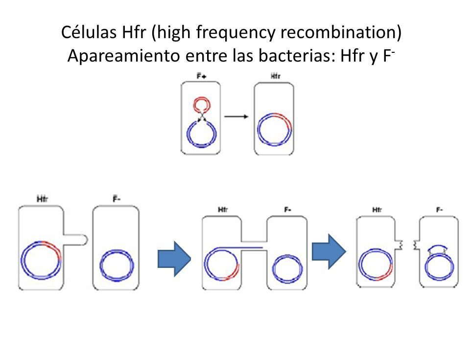 Células Hfr (high frequency recombination) Apareamiento entre las bacterias: Hfr y F-
