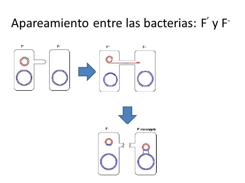 Apareamiento entre las bacterias: F' y F-