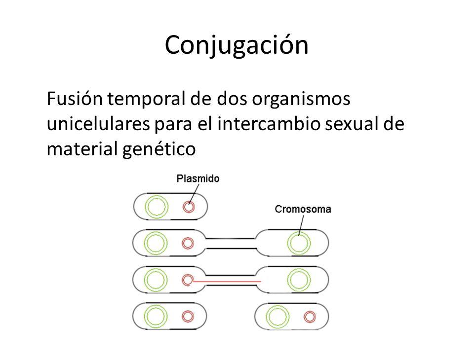 Conjugación Fusión temporal de dos organismos unicelulares para el intercambio sexual de material genético.