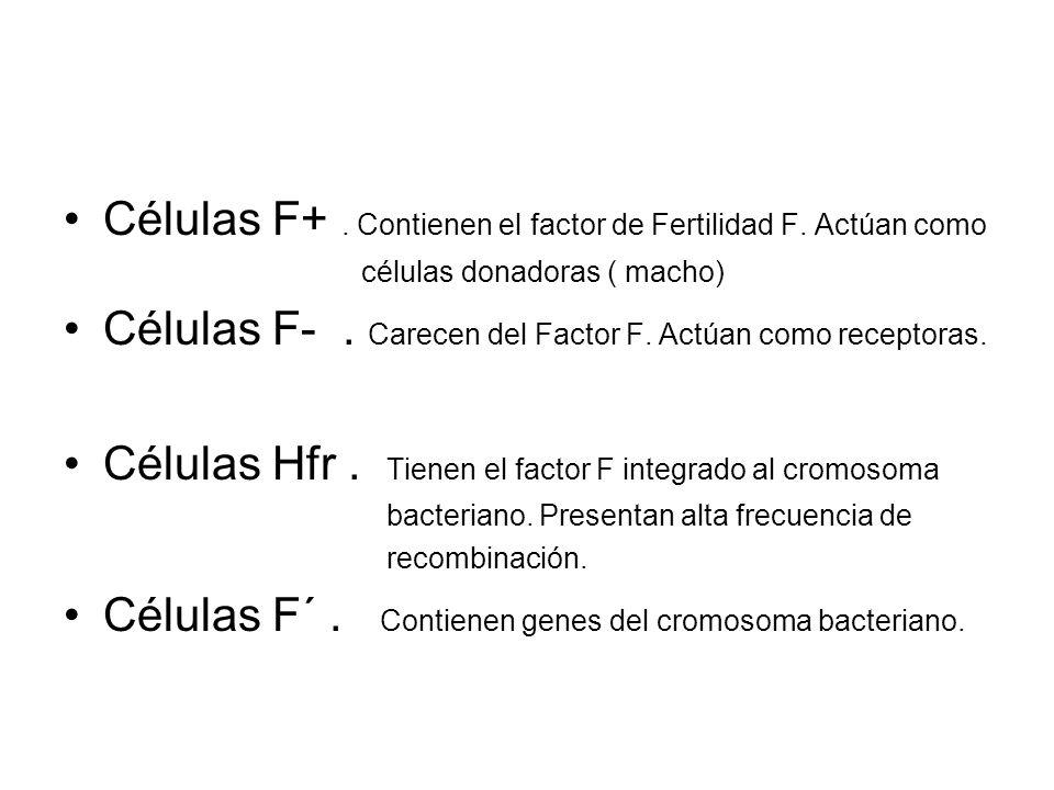 Células F+ . Contienen el factor de Fertilidad F. Actúan como