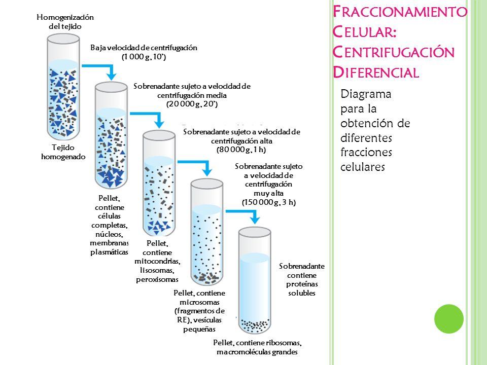 Fraccionamiento Celular: Centrifugación Diferencial