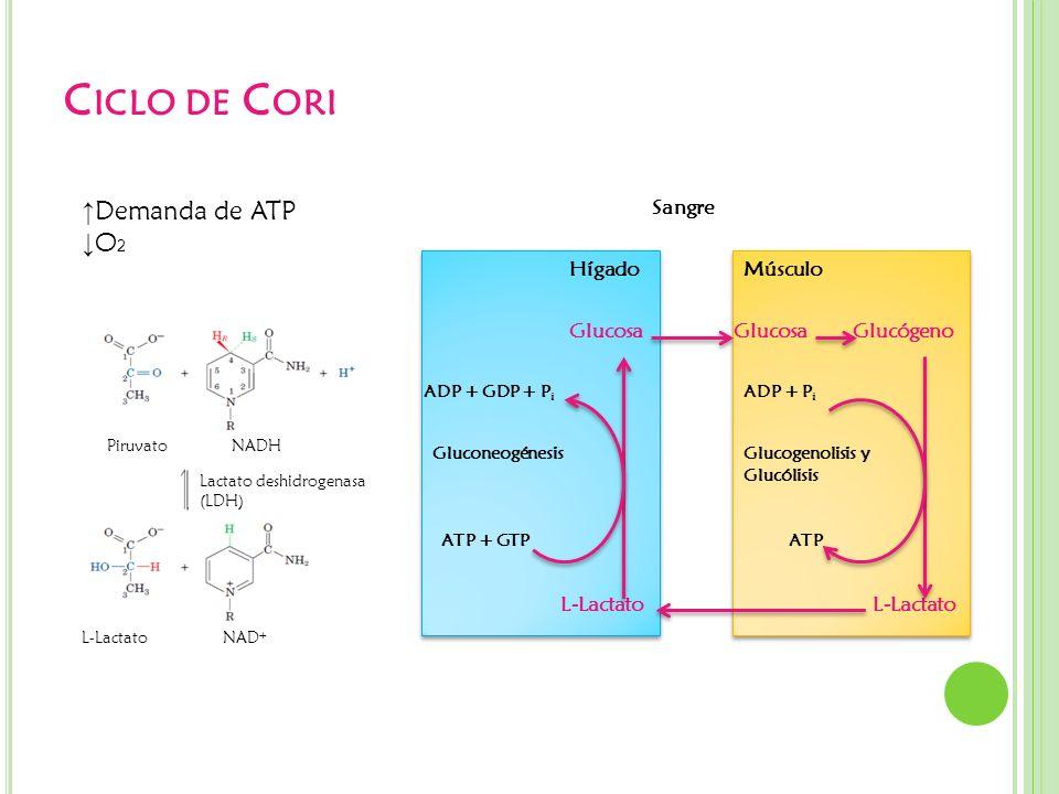 Ciclo de Cori ↑Demanda de ATP ↓O2 Hígado Sangre Músculo Glucosa