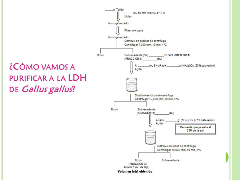 ¿Cómo vamos a purificar a la LDH de Gallus gallus