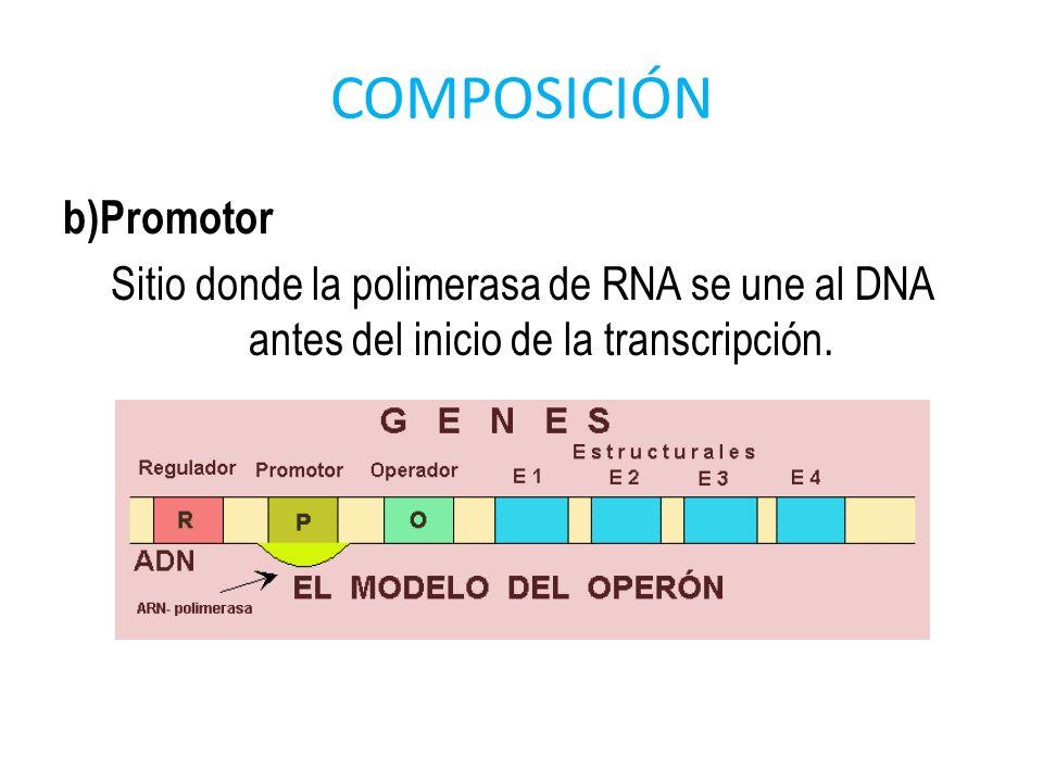 COMPOSICIÓNb)Promotor Sitio donde la polimerasa de RNA se une al DNA antes del inicio de la transcripción.