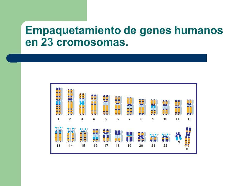 Empaquetamiento de genes humanos en 23 cromosomas.