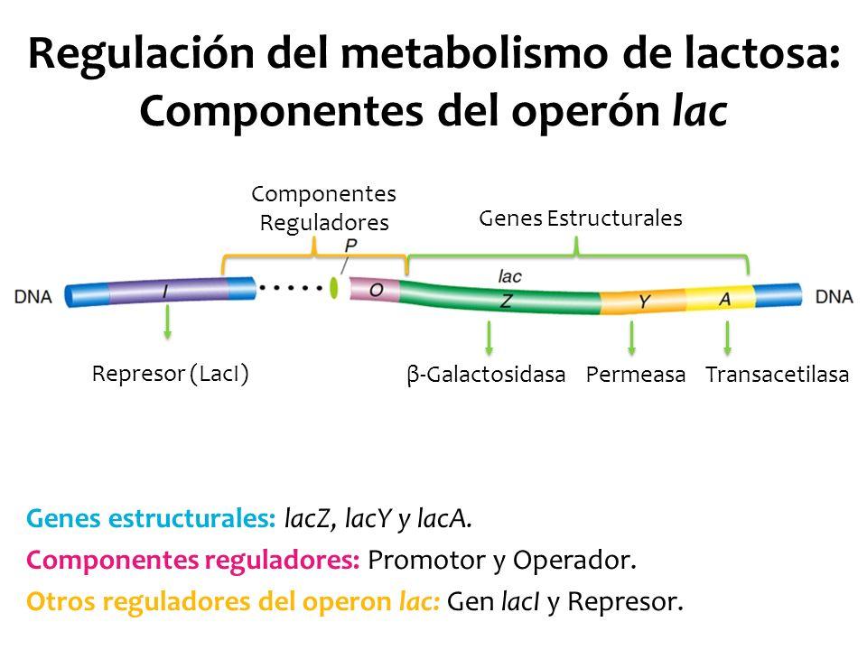Regulación del metabolismo de lactosa: Componentes del operón lac