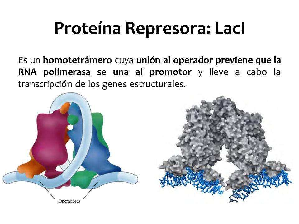 Proteína Represora: LacI