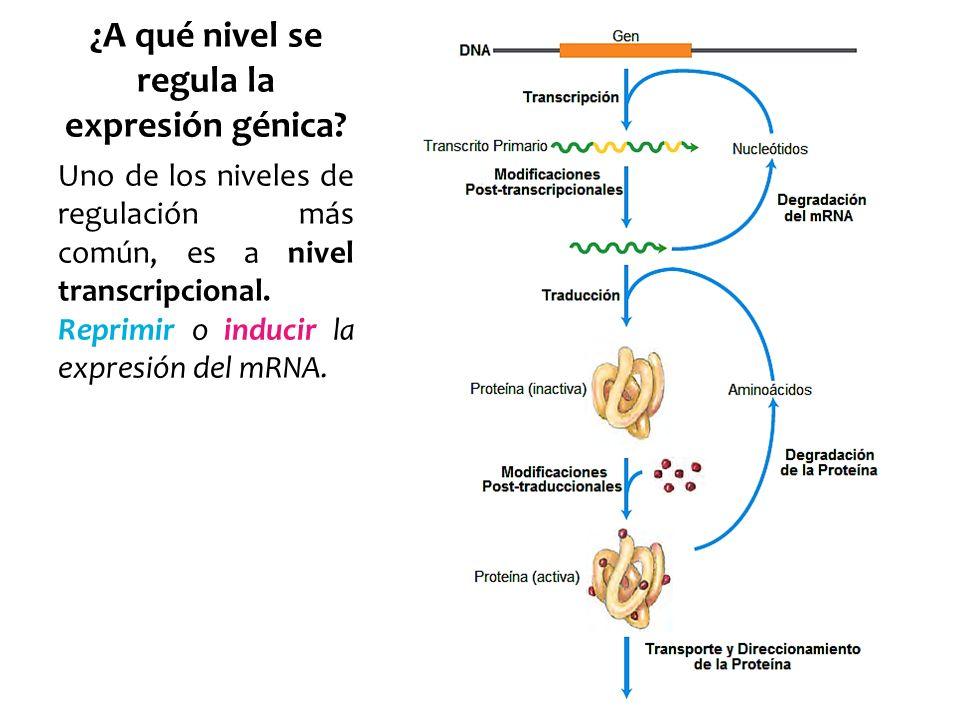 ¿A qué nivel se regula la expresión génica